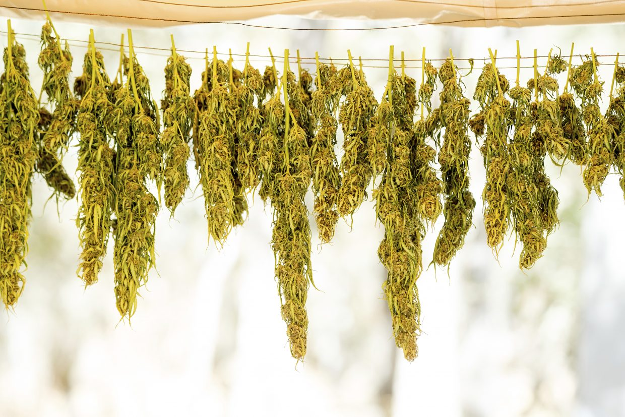 In this Sept. 29, 2017 photo, marijuana hangs on a line while drying at a growing operation in unincorporated Calaveras County. Marijuana has deeply divided the financially strapped county and it is among many now grappling with a pot economy where growers have become increasingly open about their operations and have begun encroaching on residential neighborhoods.