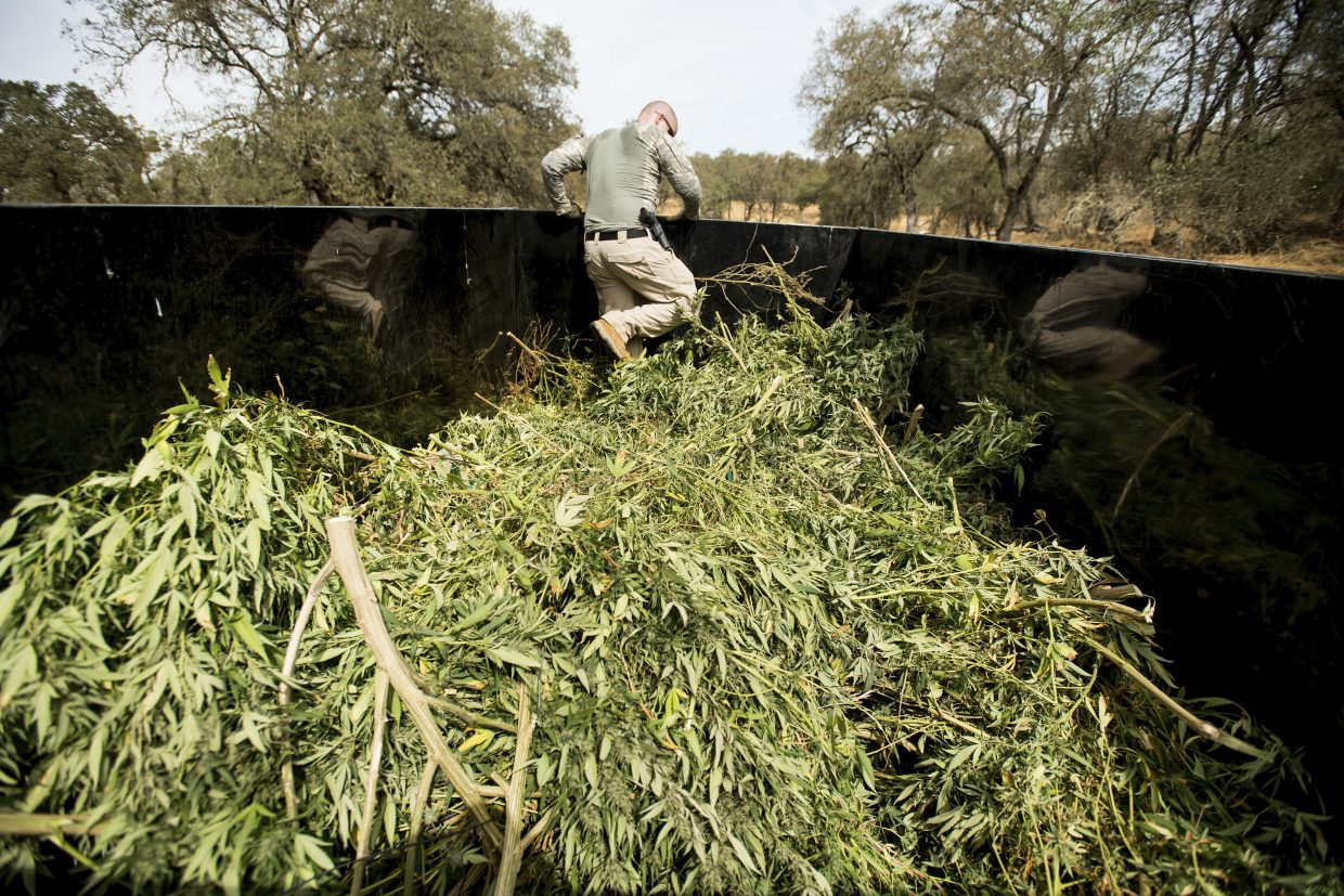 In this Sept. 29, 2017 photo, a sheriff's deputy compacts marijuana seized during a raid in unincorporated Calaveras County, Calif. Growers illegal and legal have are increasingly open about their operations and starting to encroach on neighborhoods. The influx has caused a backlash among residents and led to the ouster of some county leaders who approved marijuana cultivation.