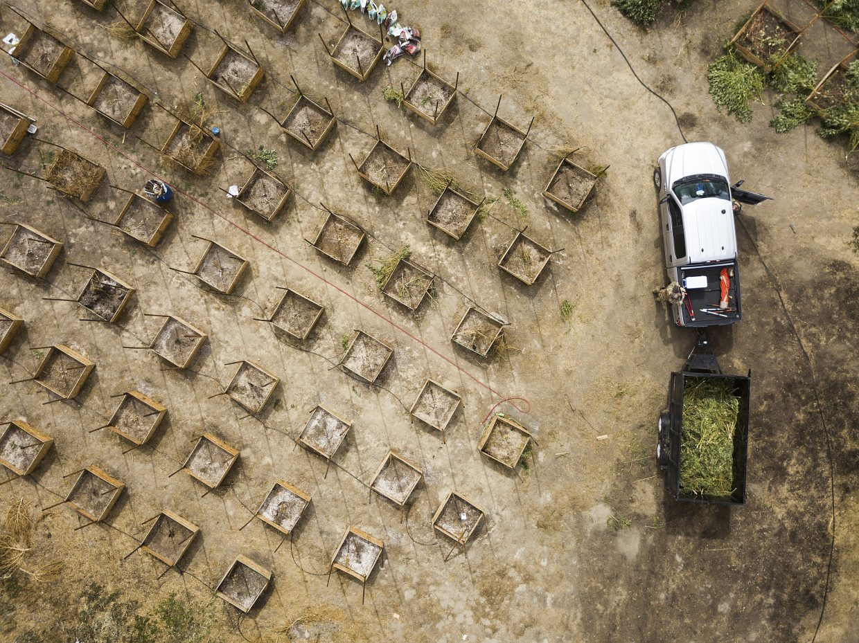 In this Sept. 29, 2017 photo, sheriff's deputies seize marijuana from a growing operation in unincorporated Calaveras County, Calif. Marijuana has deeply divided the Northern California county in the Sierra Nevada foothills. Growers illegal and legal have are increasingly open about their operations and starting to encroach on neighborhoods.