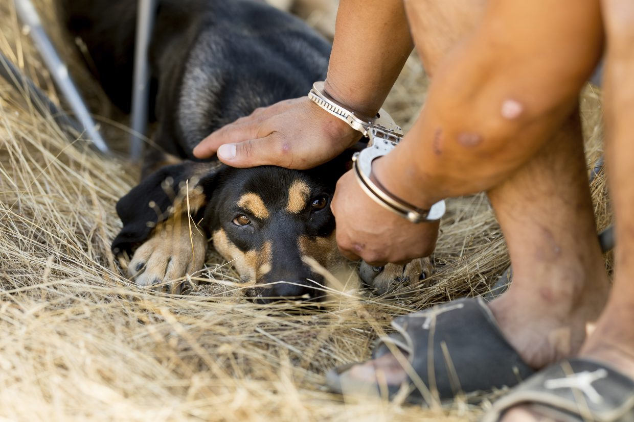In this Sept. 29, 2017 photo, a man arrested for allegedly cultivating marijuana pets Ace, a dog who lives at the farm, while awaiting transport to jail in unincorporated Calaveras County, Calif. Calaveras County Sheriff Rick DiBasilio says he has his hands full cracking down on thousands of illegal farms in a county that has legalized cultivation for medicinal use.