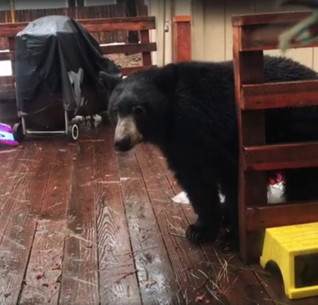 A young back bear stands on a back deck in South Lake Tahoe.