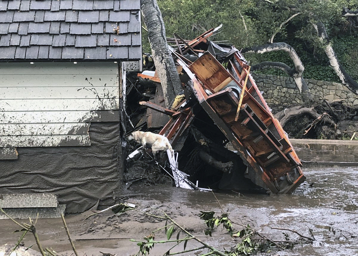 In this photo provided by Santa Barbara County Fire Department, Santa Barbara County Fire Search Dog Reilly looks for victims in damaged and destroyed homes in Montecito, California, following deadly runoff of mud and debris from heavy rain on Tuesday, Jan. 9, 2018.
