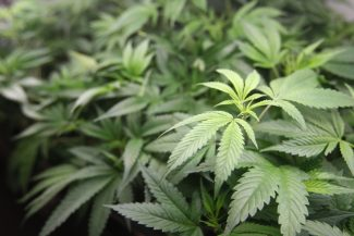 City Council to consider cannabis ordinance; Tahoe Wellness Cooperative hoping to settle lawsuit