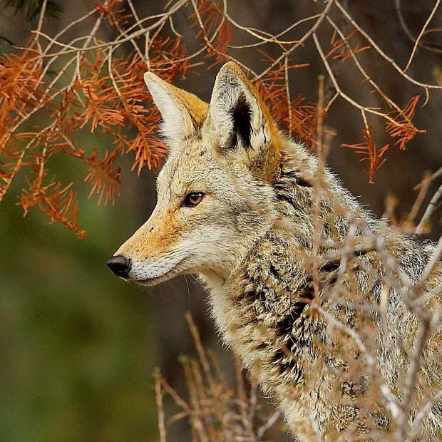 The focused look on this coyote was due to a domestic dog that was running loose in the area.