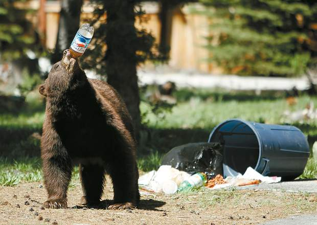 This iconic photo from May 2007 shows a black drinking from a plastic soda bottle during Memorial Day weekend near South Lake Tahoe, proving that bears here thrive off garbage.