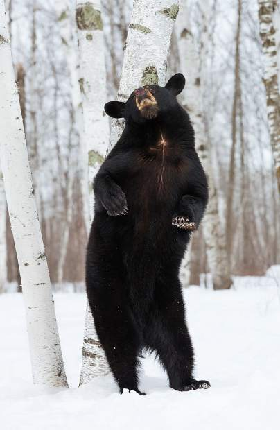 While most black bears will hibernate during the winter, some stay awake — especially if there is easy-to-access human food.