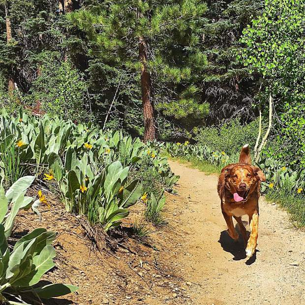 Wildflower Wednesday! The blooms are just about to peak on the trails in Tahoe and I think this guy is just as excited as I am... or he's just here for the chipmunk chasing.