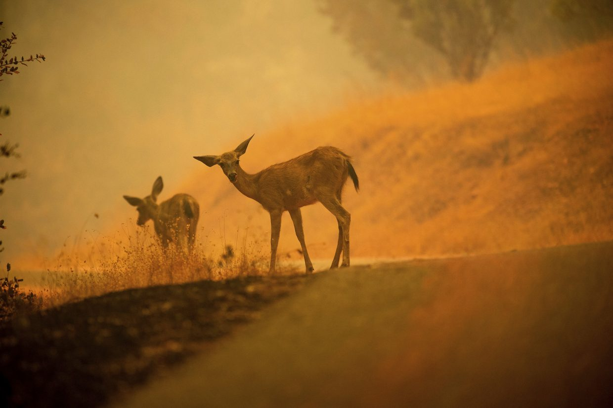 Deer graze along a road covered in fire retardant as the Carr Fire burns near Redding, Calif., on Saturday, July 28, 2018.