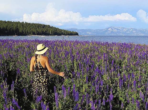 There is something magical about the lupine fields on the shores of Lake Tahoe.