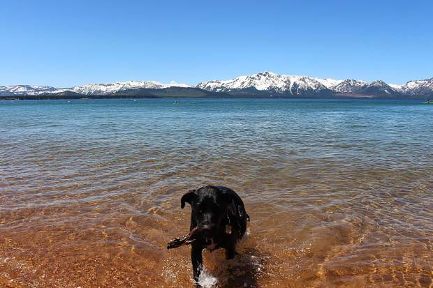 A dog fetches a stick out of the water at Nevada Beach in Stateline.