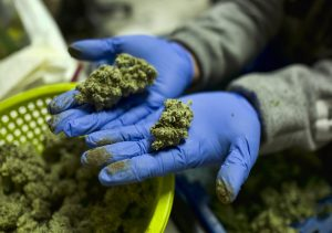 California pot market not traced or tracked as promised