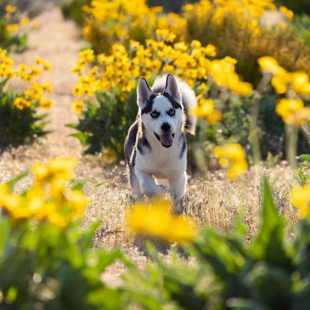 Our huskies @nico_taj_ducky romping around in a beautiful wildflower bloom.