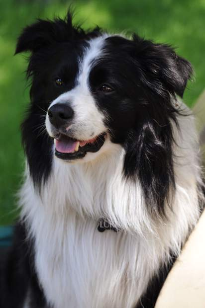 Luke the border collie, a Tahoe celebrity, smiles for the camera Wednesday.