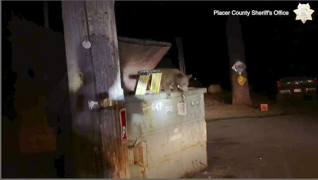 This Tuesday, Aug. 27, 2019 photo from video, third and last in a sequence, released by the Placer County Sheriff's Office, shows a bear cub climbing out of a trash container after depuites lifted the lid and put a ladder inside after the cub became trapped, outside a motel in Kings Beach, Calif., on the north shore of Lake Tahoe.