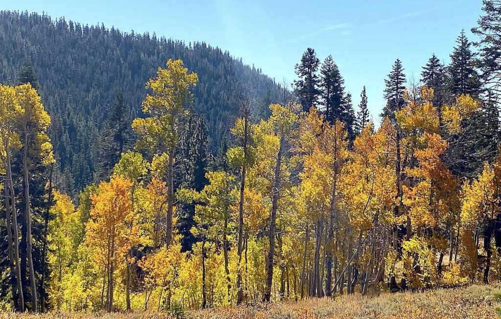 Groves of yellow aspen are prevalent on the hike to Marlette Lake.