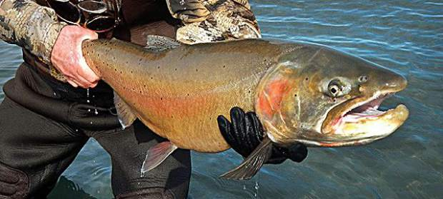 An angler holds a freshly-caught Pilot Peak Lahontan cutthroat trout at Pyramid Lake.