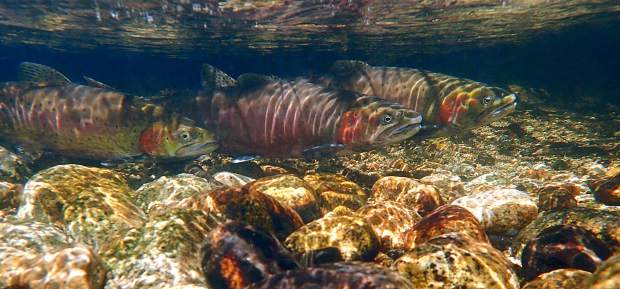 Lahonton cutthroat trout as viewed underwater.