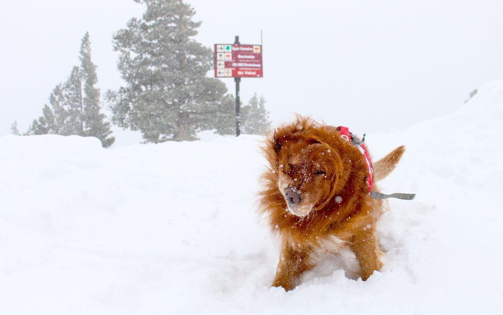 An avalanche dog at Sierra-at-Tahoe is more than ready to get started for the winter.