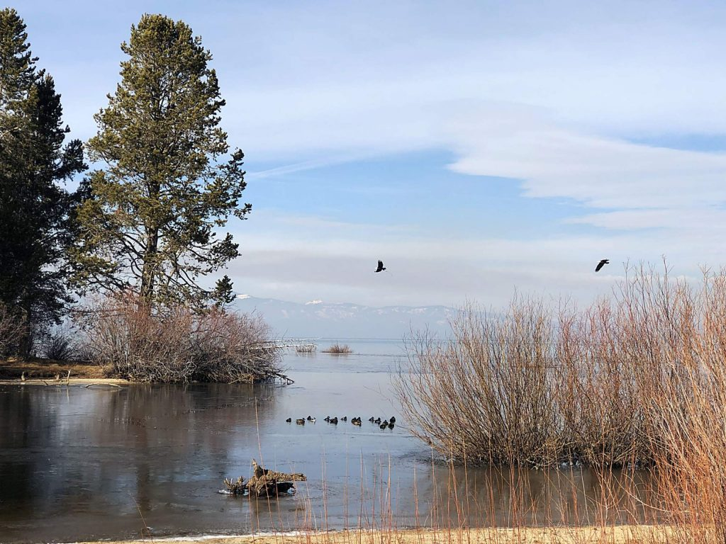 Two eagles take to the skies over the Upper Truckee Marsh.