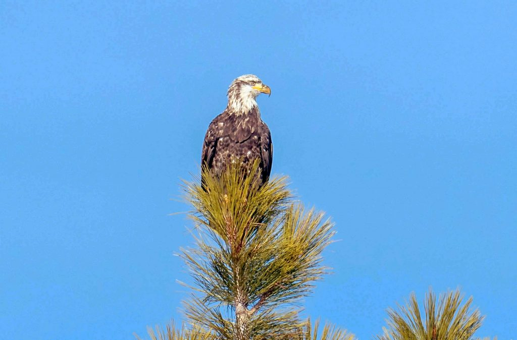 24 bald eagles were counted during the mid-winter count.