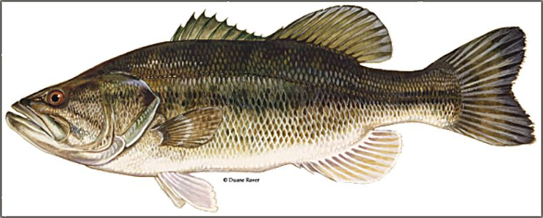Largemouth bass is one of the fish targeted by the program.