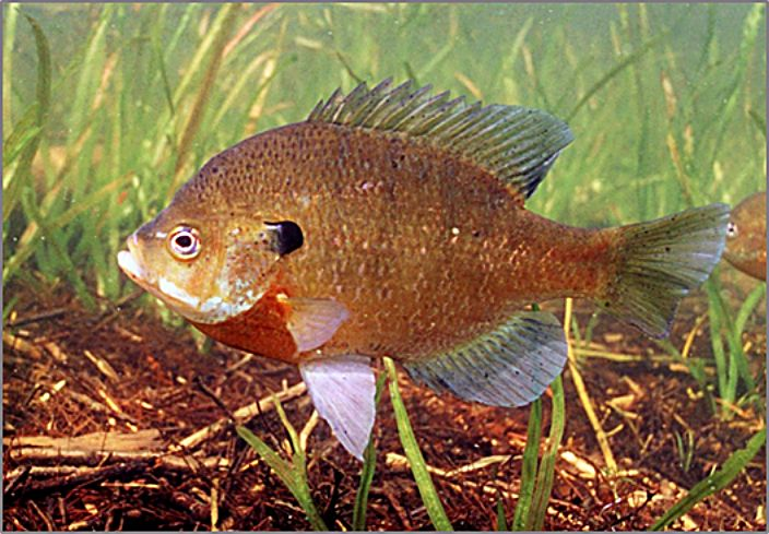 Bluegill is one of the fish targeted by the program.