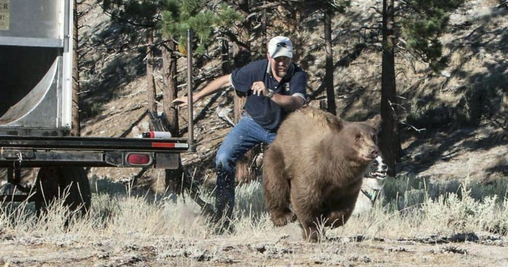 In this Aug. 9, 2013, file photo, provided by the Nevada Department of Wildlife, Carl Lackey, a long-time Nevada Department of Wildlife biologist, and a dog named ''Rooster'' chase after a California black bear after it was captured and re-released to the wild in the Carson Range southwest of Carson City, Nev.