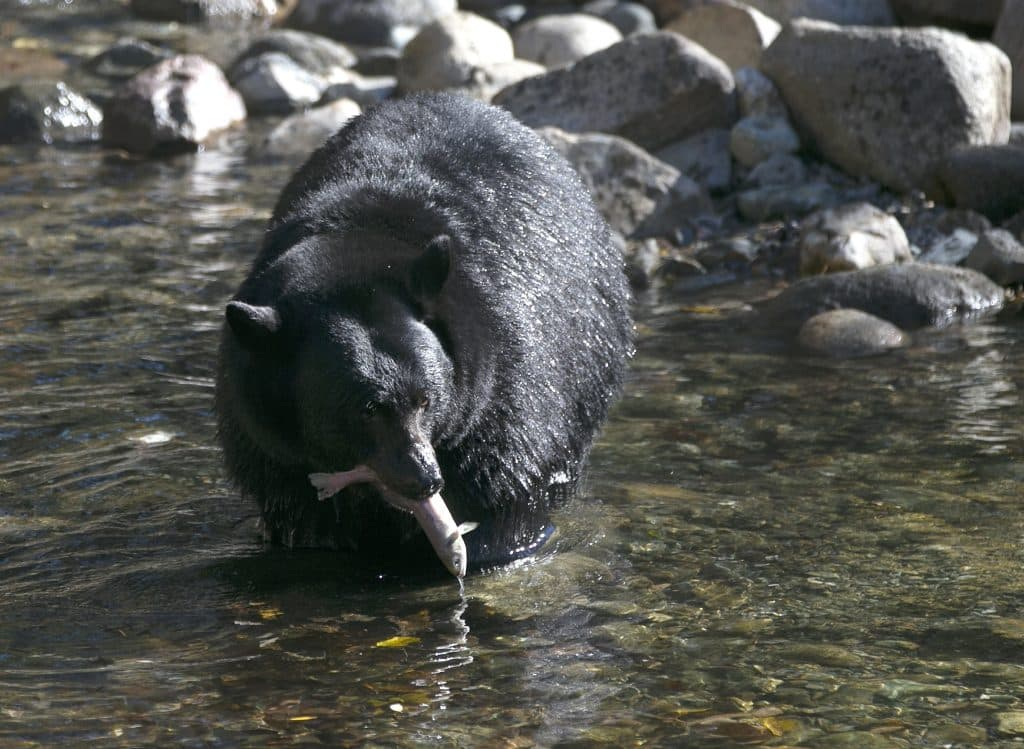 In this Oct. 24, 2017, photo, a Black Bear eats a Kokanee salmon it caught in the Taylor Creek in South Lake Tahoe, Calif.