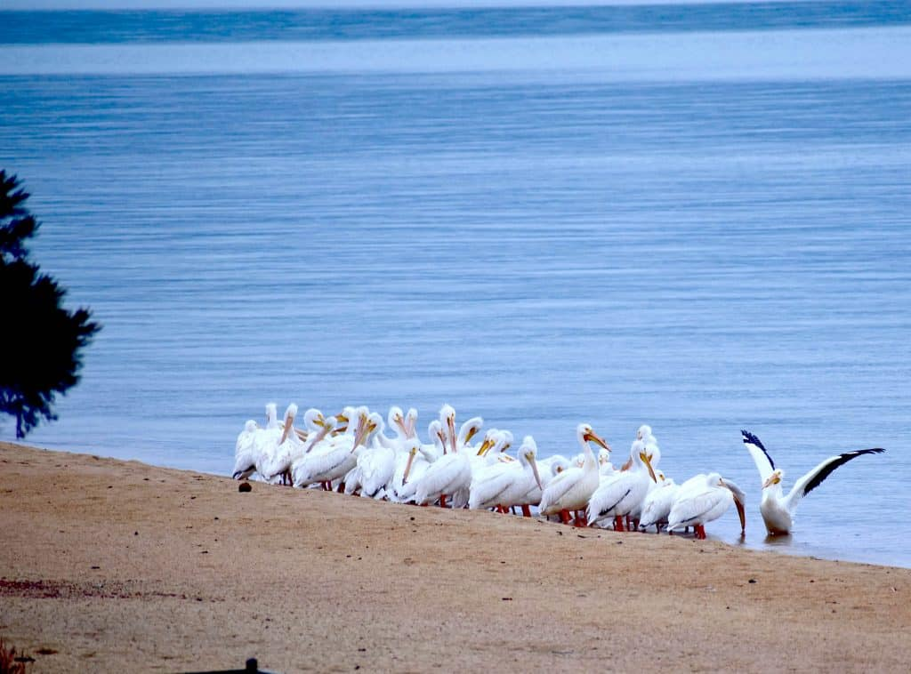 American White Pelicans stop in Tahoe for their biannual migration for spring nesting.