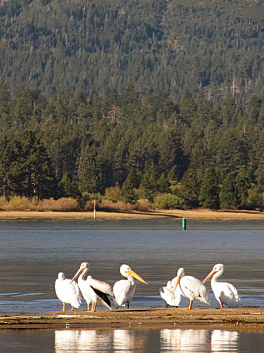 American White Pelicans at Cove East in South Lake Tahoe.