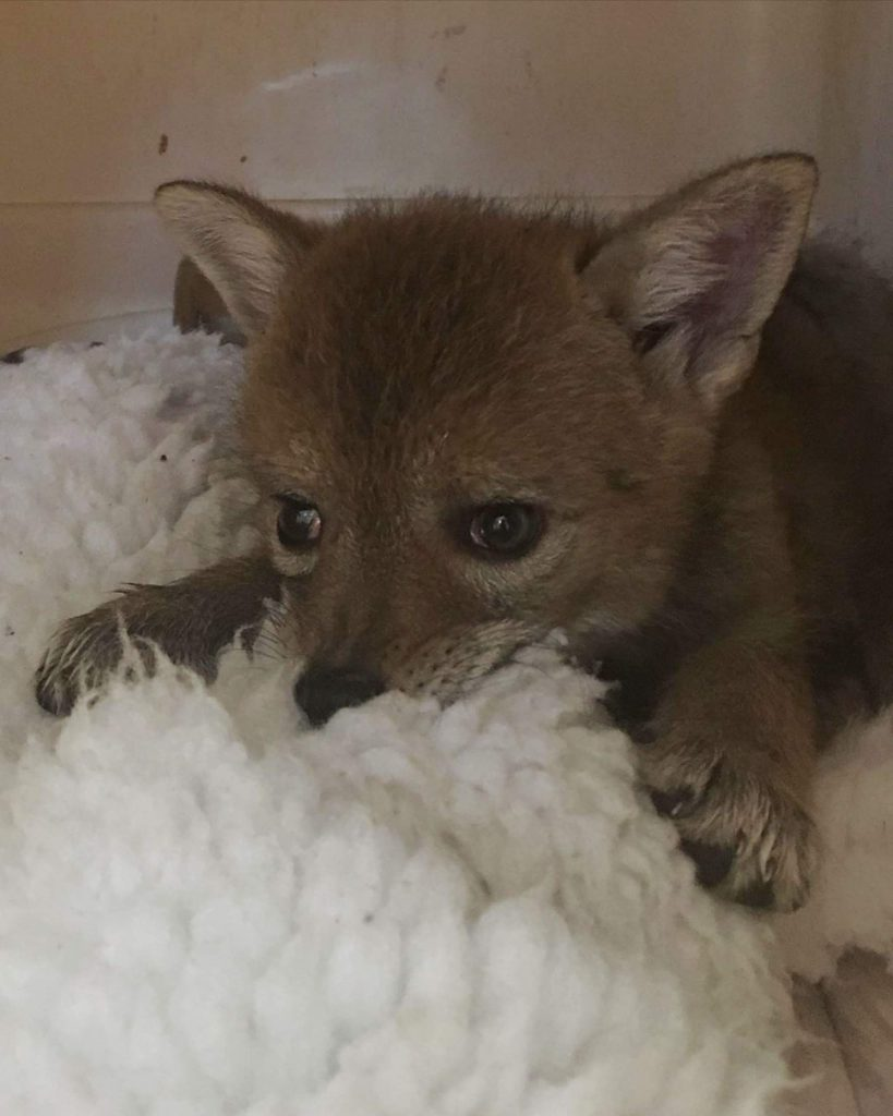 LTWC tries to reunite the coyote pups back with their parents, but if they are unable to find them, the pups will have shelter and food at the facility.