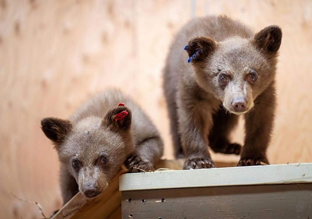 Hazel, the mother of these two cubs was hit by a vehicle and killed. LTWC is making sure cubs will be taken care of before released back.