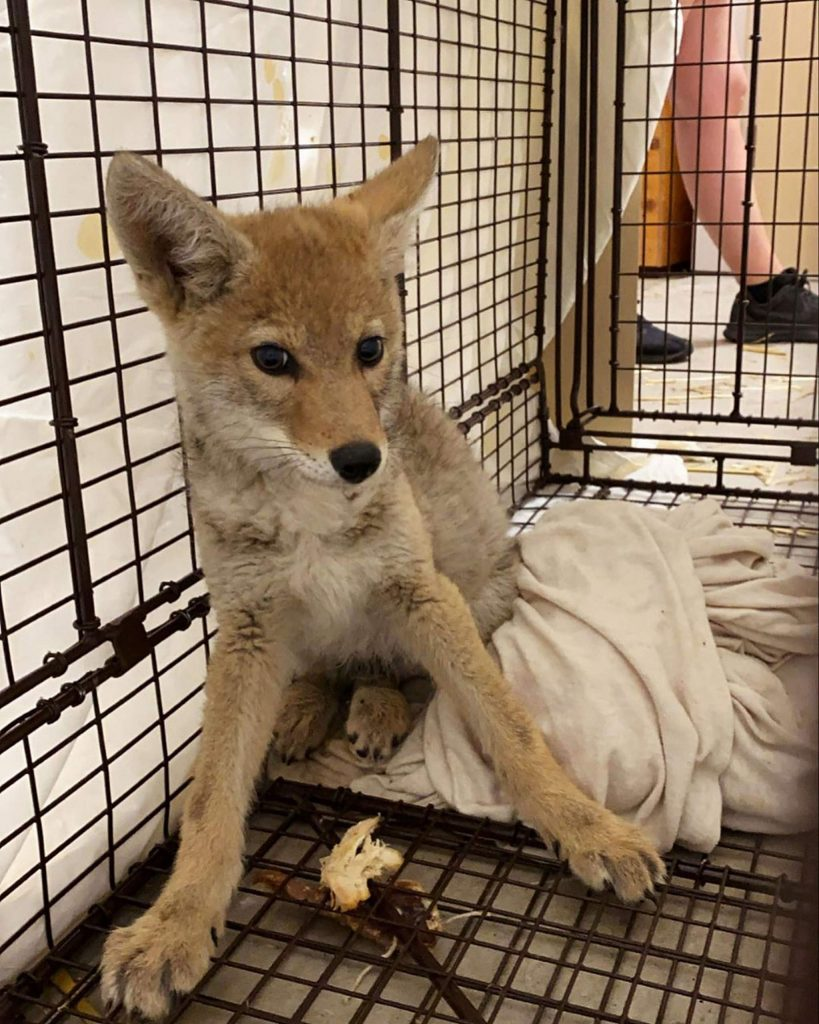 LTWC already has three orphaned coyote pups so far this spring.