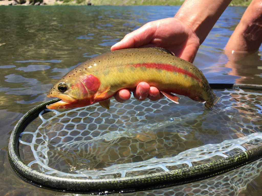 The Lahontan cutthroat is the only native trout to the Sierra.