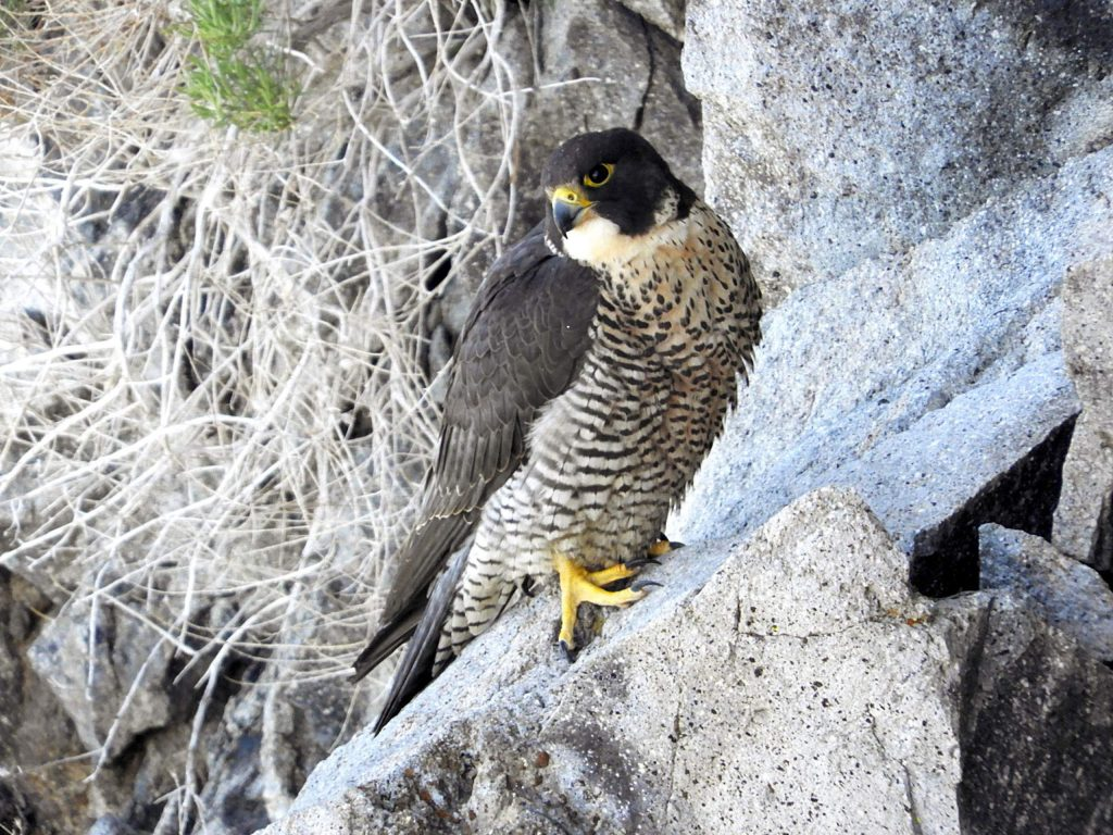 An adult peregrine falcon perched on a rock.