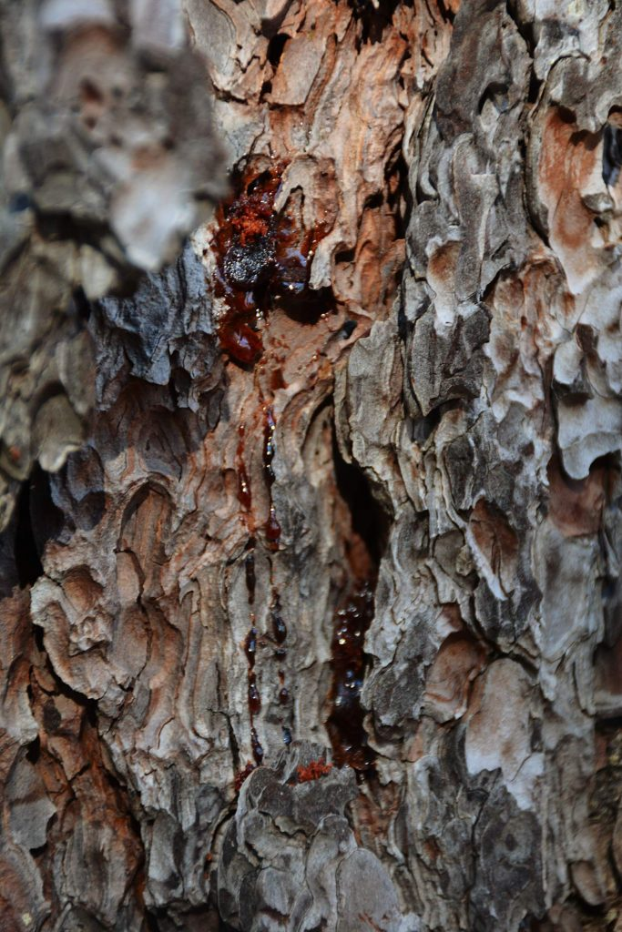 Red pitch expelling from a tree means that bark beetles attacked the tree and were able to successfully get inside the tree.