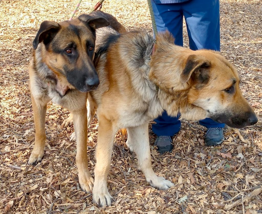 Two German shepherds were abandoned recently on U.S. Highway 50.