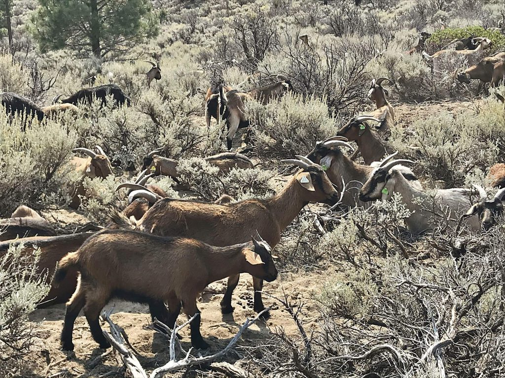 350 goats will graze the land to reduce fuels and the risk for wildfire. The goats have been in this location since Sept. 13 and should be there for another 60-80 days depending on weather.