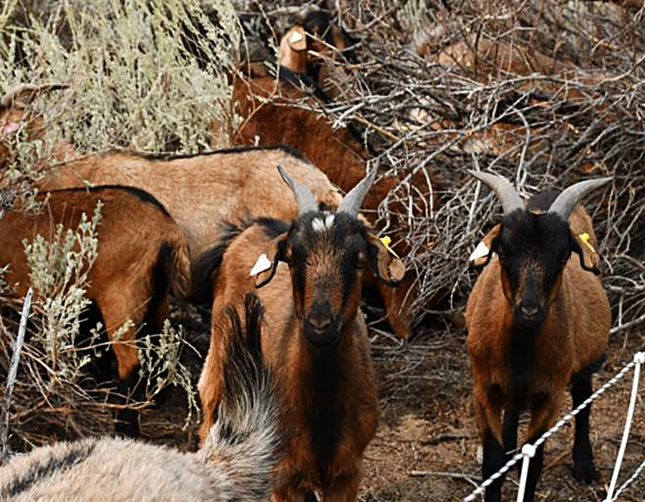 Just above Carson City over 350 goats are grazing.