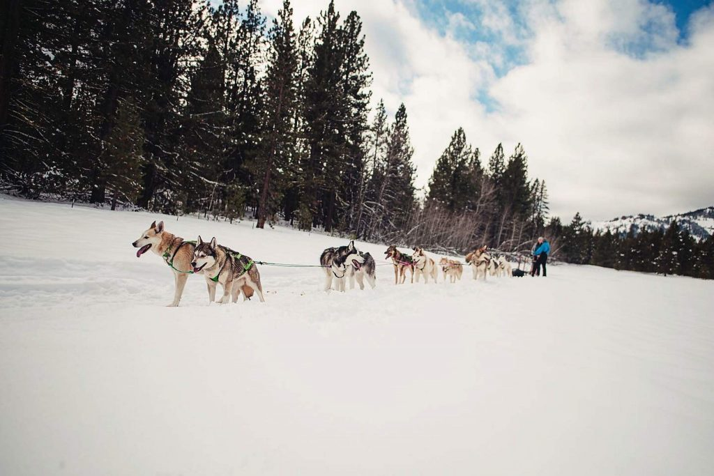 The number of dogs they use depends on snow conditions and weight of load.